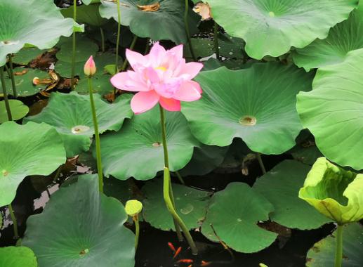 郑州紫荆山公园荷花花开正艳 来赏花吧
