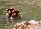 猕猴上演高台跳水