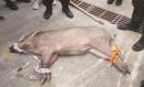 南京闹市区惊现野猪