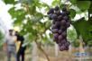 又到一年葡萄成熟季 盘点南阳周边的葡萄园