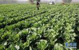 大白菜、圆白菜等五种蔬菜被定为石家庄冬春储备菜