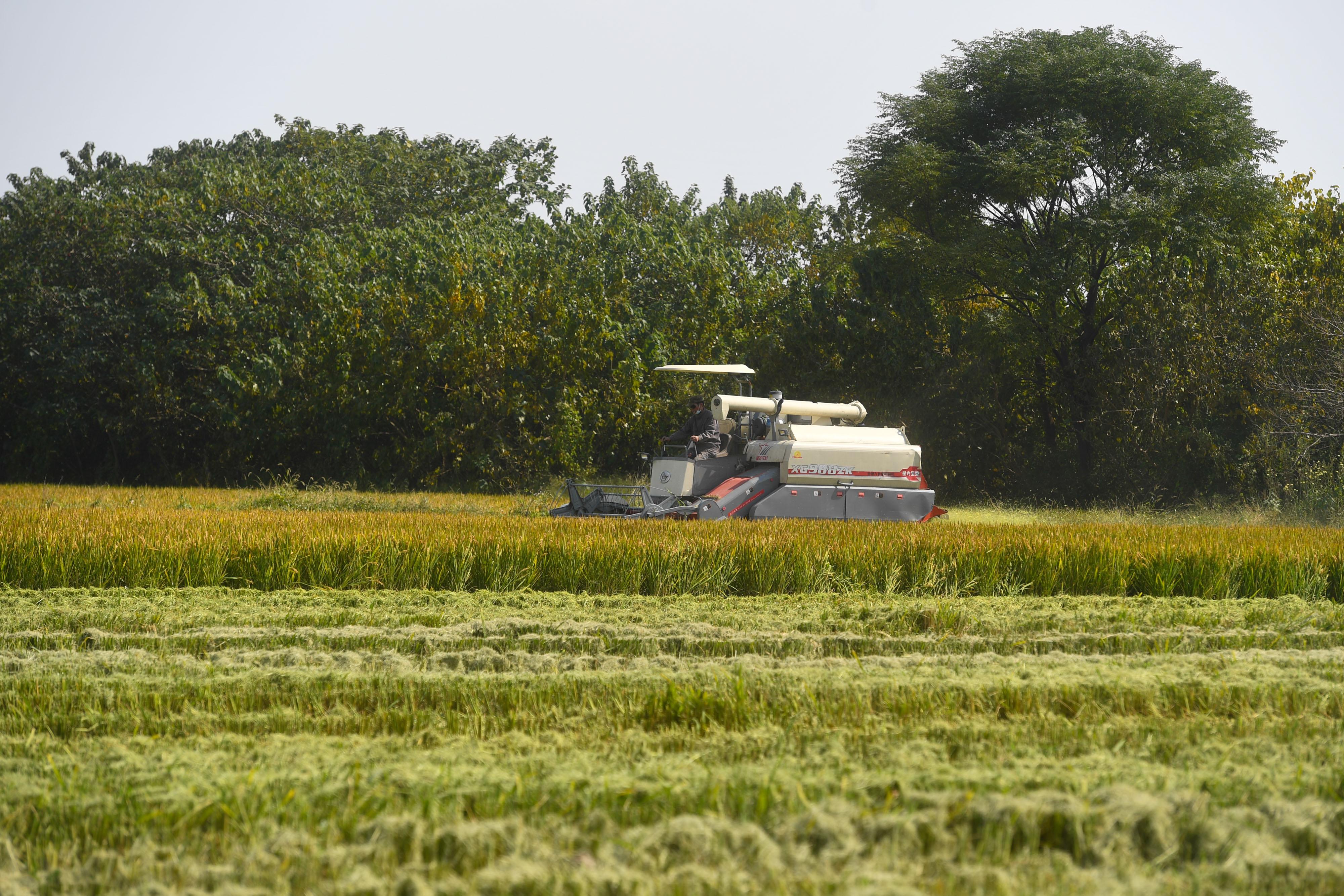 丰收2018|浙江湖州:水稻秋收进行时
