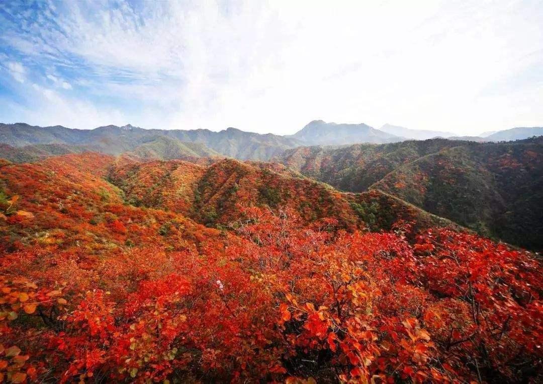 香山红叶进入最佳观赏期 周末流量大