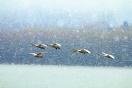 河南三门峡:雪中天鹅舞