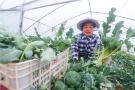 河南光山:西兰花蔬菜种植富农家