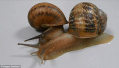 世界上最悲伤的蜗牛?处于三角恋中被另外两只抛弃