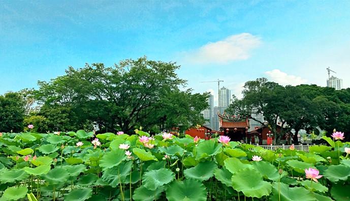 荷香阵阵!漳州碧湖生态公园湖中大片荷花盛放