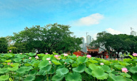 漳州碧湖生态公园荷花