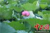 【共舞长江经济带】合肥滨湖湿地森林公园:雨后荷花别样红(组图)