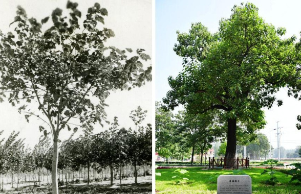 焦桐 活在百姓心中的樹