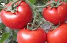 三月大棚番茄丰收