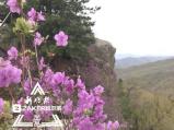 小兴安岭海拔最高的杜鹃开了 花期还剩半个月