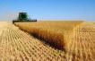 安徽启动小麦最低收购价预案 四等及以下不再收购