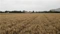 小麦亩产807公斤!青岛粮食产能再上新高度