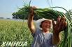 """让农户吃上""""定心丸"""" 山东农产品目标价格保险金额超百亿元"""