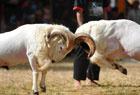 印尼加鲁特斗羊大赛
