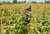 保障国家粮食安全 中央?#26222;?#25903;持三大粮食作物制种产业发展
