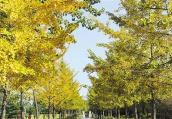 白龟湖畔秋叶绚烂多彩 游人公园的林荫下走过