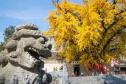 河南香嚴寺:兩棵銀杏樹,一雌一雄相愛一千多年