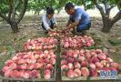 永清:鲜桃种植富乡村