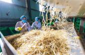 河南宝丰:小豆芽撑起富民大产业